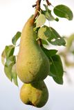 Ripening pears Stock Photos