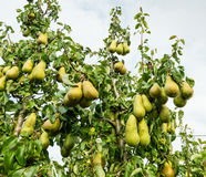Ripening pears hanging on the trees Stock Photo