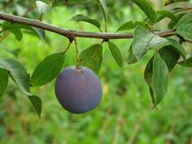 Ripening plum Stock Images