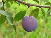 Ripening plum Royalty Free Stock Images