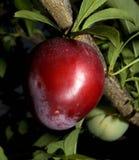 Ripening plum Stock Image