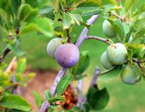 Ripening plum Royalty Free Stock Photography
