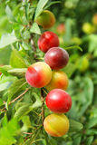 Ripening plums. Yellow and red ripening plums on branches of a garden tree Stock Image