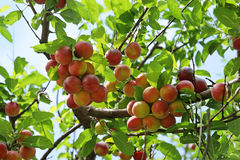 Ripening plums. Red ripening plums on branches of a garden tree royalty free stock photos