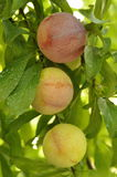 Ripening plums Royalty Free Stock Photography