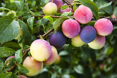 Ripening plums Stock Images
