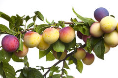 Ripening plums Royalty Free Stock Image