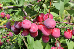 Ripening plums on tree Stock Photo