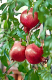 Ripening Pomegranate Arkivbild