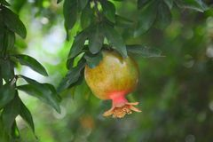 Pomegranate on branch Royalty Free Stock Image