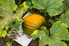 Ripening Pumpkin Royalty Free Stock Image