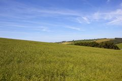 Ripening rapeseed crops under a blue sky in summertime. A hilltop field of ripening rapeseed with wooded valley and arable crops under a blue cloudy sky in the Royalty Free Stock Image