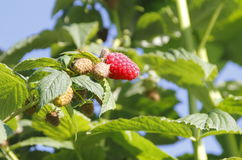Ripening Raspberries Stock Photography