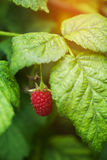 Ripening raspberries on the bush in a kitchen garden. In the sunny day Stock Photography