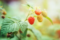 Ripening raspberries on bush in summer garden. Close-up Royalty Free Stock Photography