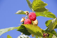 Ripening Raspberries Royalty Free Stock Photography