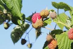 Ripening Raspberries on the Vine Royalty Free Stock Images