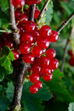 Ripening red currant Stock Images
