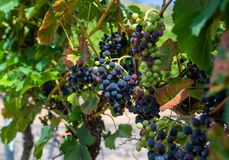 Ripening red grapes close-up on a vine plantation on a beautiful hot, sunny, summer day in western Germany. royalty free stock photography