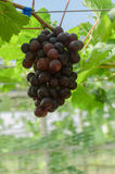 Ripening red grapes in countryside vineyard for red wine Royalty Free Stock Photo