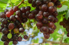 Ripening red grapes in countryside vineyard for red wine,Thailan Stock Image