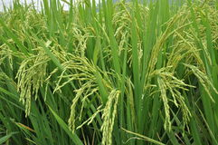 Ripening rice Royalty Free Stock Image