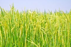 Ripening rice Royalty Free Stock Images