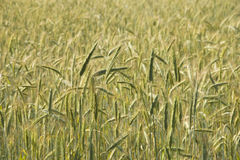 Ripening rye Stock Photography