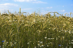 Ripening rye in the field Royalty Free Stock Photography