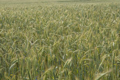Ripening rye in the field Royalty Free Stock Image