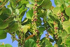 Ripening Sea Grape Clusters. In Antigua Barbuda Lesser Antilles, West Indies, Caribbean royalty free stock image