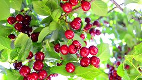 Ripening sour Cherry tree Stock Images