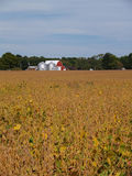 Ripening Soybean Field in Front of a Red Barn Royalty Free Stock Images