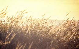 Ripening spikelets of golden wheat field on the sunset. sun rays. On sea horizon. landscape of sunrise in rural. Close up Stock Images