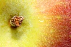 ripening stem för äpple royaltyfria foton