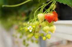 Ripening strawberries from close Royalty Free Stock Photo