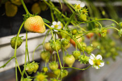 Ripening strawberries from close Royalty Free Stock Image