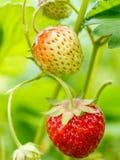 Ripening strawberries Stock Photo