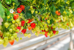 Ripening strawberries grown without soil in modern Dutch horticu Royalty Free Stock Photo