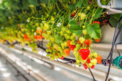 Ripening strawberries grown without soil in modern Dutch horticu Stock Photography