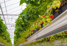 Ripening strawberries in a horticulture company Stock Photography