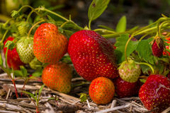 Ripening strawberries Stock Image