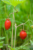 Ripening strawberry Royalty Free Stock Images
