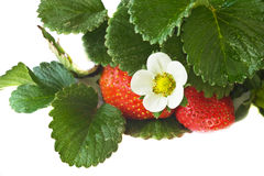 ripening strawberry Stock Photos