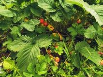 Ripening strawberry on the background of unripe berries. A bunch of unripe strawberries among green foliage.  stock photo