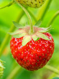 Ripening strawberry Stock Photos