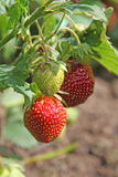 Ripening strawberry on a plant Royalty Free Stock Image