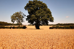 Ripening Summer Wheat Royalty Free Stock Photo