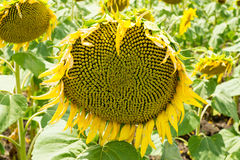 Ripening sunflower in Bulgaria Royalty Free Stock Images
