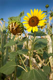 Ripening Sunflowers. Against blue sky Royalty Free Stock Photography